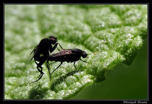 Crac-crac (Phoridae)