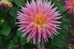 annual plant(1.0), dahlia(1.0), flower(1.0), plant(1.0), macro photography(1.0), flora(1.0), petal(1.0),