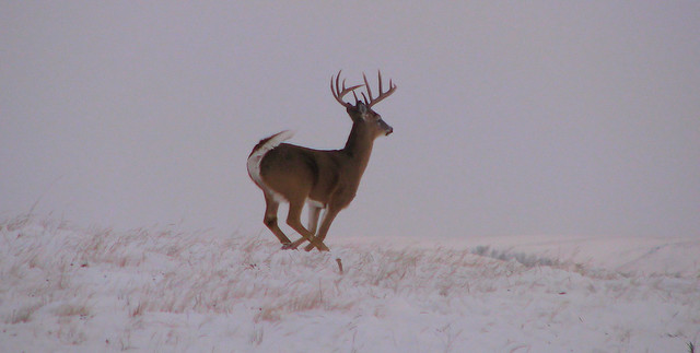 Whitetail Buck and shed in snow. | Flickr - Photo Sharing!