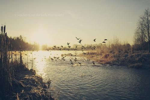 morning winter lake sunrise dawn britishcolumbia ducks surrey february canonef35mmf14lusm surreylake kvdl