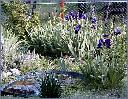 flowers iris flower gardens garden landscaping bloom blooms