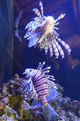 Lionfish - Aquarium Encounters, Marathon, FL -7.2.17