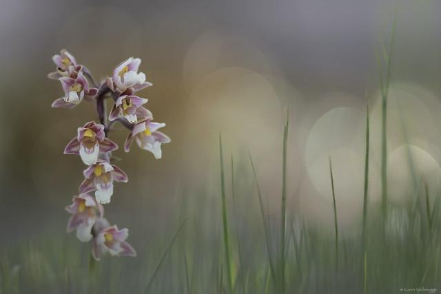Marsh helleborine, Nikon D5300, Sigma APO 120-400mm F4.5-5.6 DG OS HSM