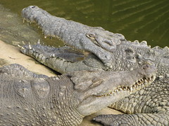 Magdalena river crocodiles