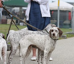 american foxhound(0.0), setter(0.0), weimaraner(0.0), dog breed(1.0), animal(1.0), dog(1.0), pet(1.0), old danish pointer(1.0), mammal(1.0), braque francais(1.0), pointer(1.0), braque d'auvergne(1.0),