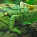 Parson's Chameleon - Photo (c) Sibylle Stofer, some rights reserved (CC BY-NC-SA)