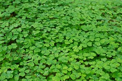 annual plant, leaf, plant, herb, green, groundcover,
