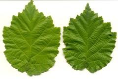 Blätter von Baumhasel