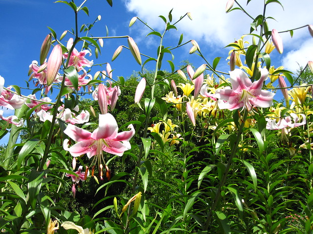 Lilies are blooming big in the Monocot Border. Photo by Rebecca Bullene.