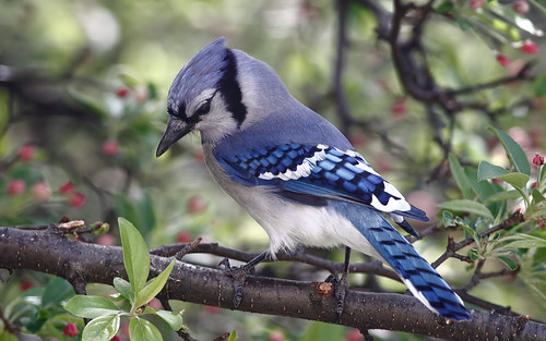 blue wild tree bird nature animal closeup fauna bill jay princess michigan wildlife beak feather bluejay npc perch ornithology birdwatching avian cyanocittacristata birdwatcher supershot avianexcellence coth5 sunrays5 princessbluejay