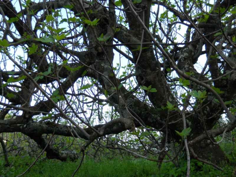 Ficus carica detalle 5