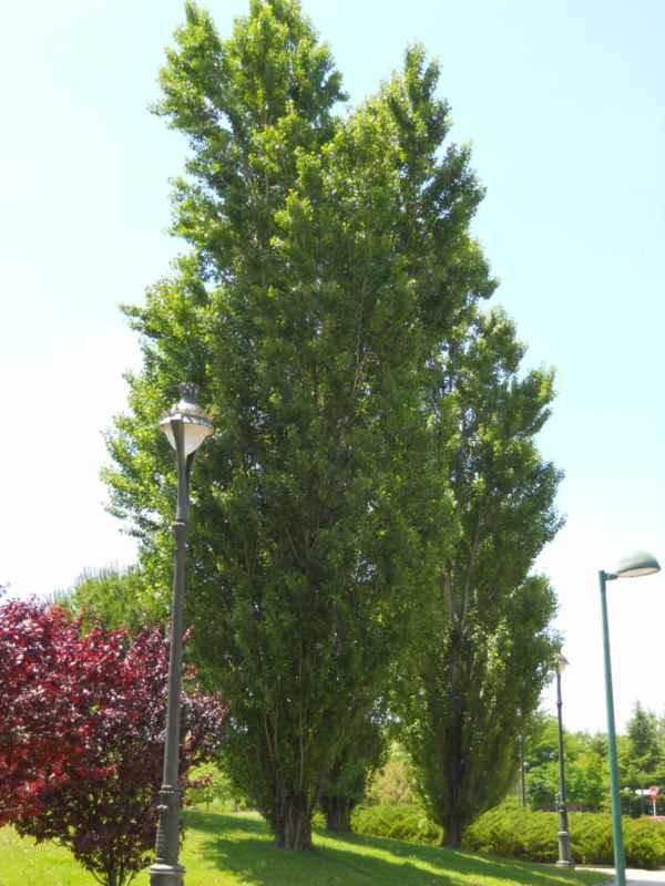Populus nigra 'Italica' v 4