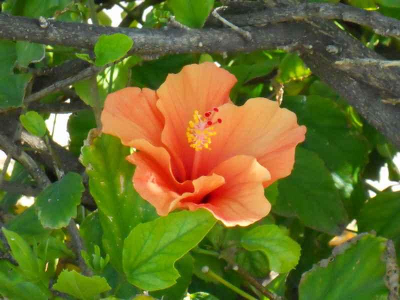 Hibiscus rosa sinensis 'Ankara' flor 1