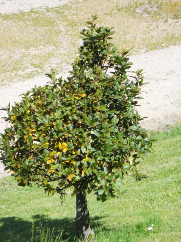 Laurus nobilis arbolito v 4