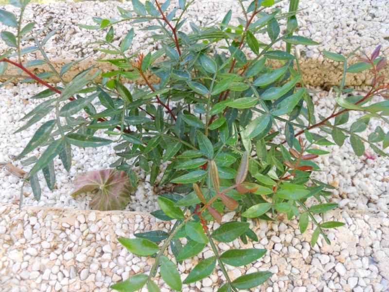 Pistacia lentiscus 4