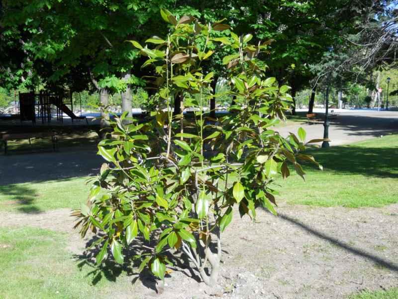 Magnolia spp arbolito 3