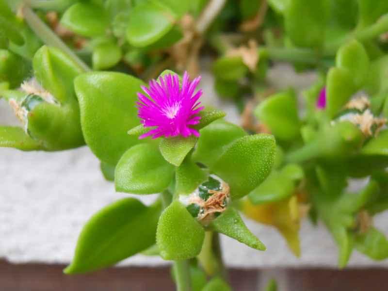 Aptenia cordifolia 5