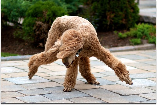 dog canon canine explore spoo breakdancing pretzel standardpoodle 85mmf18 redpoodle abigfave naturewatcher canon7d 52weeksfordogs aperture3 noblurbutlotsofmotion agreatlens week28already