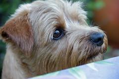 dog breed, animal, puppy, dog, schnoodle, pet, australian silky terrier, norfolk terrier, glen of imaal terrier, mammal, poodle crossbreed, norwich terrier, morkie, cairn terrier, irish soft-coated wheaten terrier, australian terrier, close-up, terrier,
