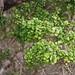 Myrsine alyxifolia