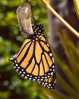 Monarch Life Cycle — 17 of 20