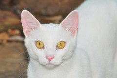 nose, animal, khao manee, small to medium-sized cats, pet, mammal, burmilla, turkish angora, close-up, cat, whiskers, domestic short-haired cat,