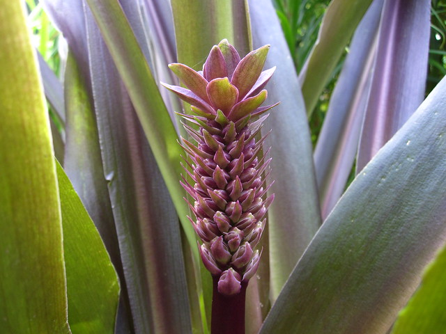 Pineapple lily (Eucomis comosa 'Sparkling Burgundy') blooms in the Monocot Border. Photo by Rebecca Bullene.