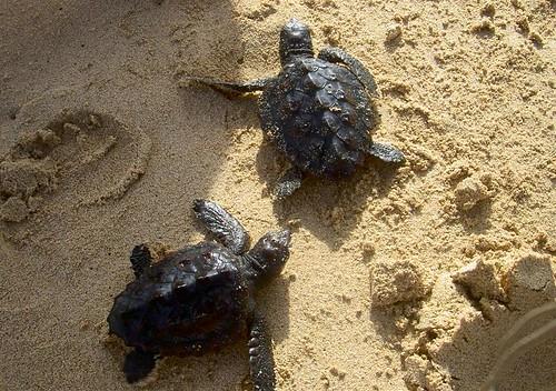 Boavista exclusive natura deposizione e dischiusa della for Deposizione uova tartarughe terrestri