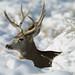 Deer of Rocky Mountain Arsenal National Wildlife Refuge