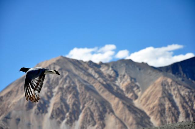 Paloma volando sobre el Pangong Tso o Lago Pangong, cordillera del Himalaya.