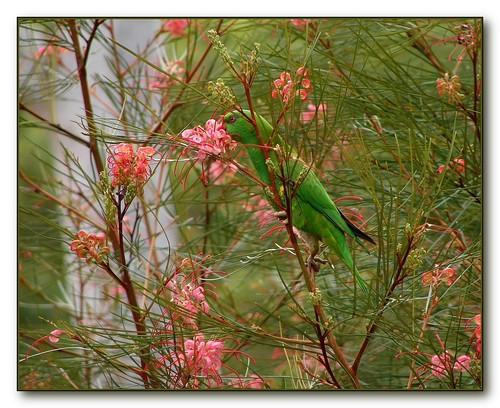 Lorikeet and Grevillea - they are often together :)