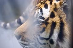 nose, animal, big cats, tiger, mammal, fauna, close-up, whiskers, wildlife,