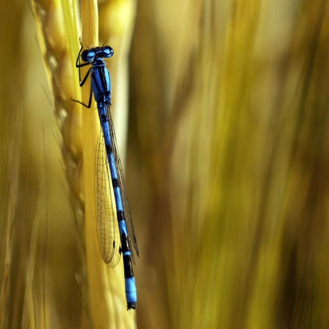 BLUE DAMSELFLY(on bokeh of wheat)