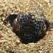 Small photo of Bobtail Cuttlefish hiding - Euprymna berryi