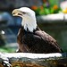 North American Bald Eagle