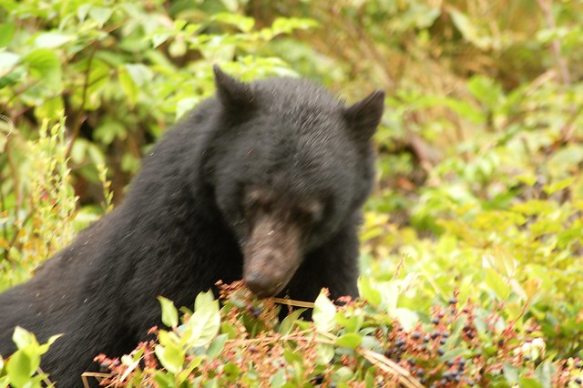 Black bear eating salal berries flickr photo sharing