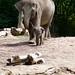 Rotterdam Blijdorp elephant baby having a stroll by ksvrbrg