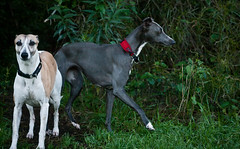 dog sports, dog breed, animal, magyar agã¡r, dog, polish greyhound, whippet, galgo espaã±ol, sloughi, pet, lurcher, italian greyhound, greyhound, carnivoran,