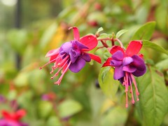 flower, plant, macro photography, wildflower, flora, fuchsia, petal,