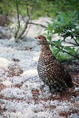 chicken(0.0), animal(1.0), pheasant(1.0), fauna(1.0), ruffed grouse(1.0), bird(1.0), galliformes(1.0), wildlife(1.0),
