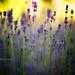 Lavender by Wolfgang Bartelme