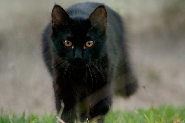 black cat - a gallery on Flickr