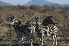 adventure(0.0), animal(1.0), zebra(1.0), mammal(1.0), herd(1.0), fauna(1.0), savanna(1.0), safari(1.0), wildlife(1.0),