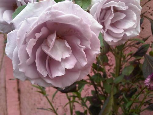 La rosa lila