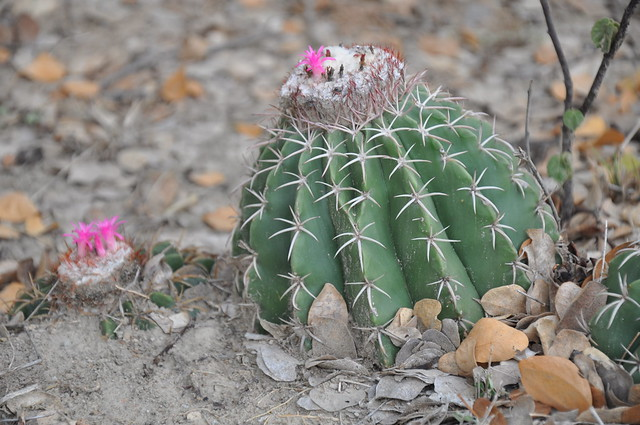 Native cactus - The Tatacoa Desert