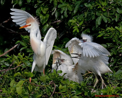 Cattle Egret Parent In Breeding Colors With Three Young Wakodahatchee Wetlands