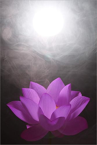 Lotus Flower / purple / white / - IMG_0588-purple1
