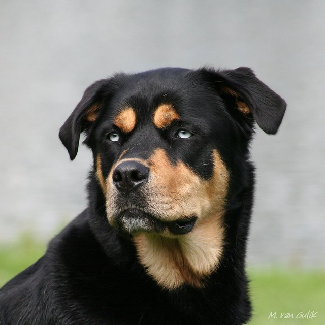 Rottweiler Husky Mix http://www.flickr.com/photos/rhodesian-ridgebacks/4938386163/