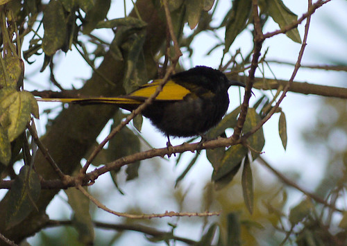 Golden-winged Sunbird - Sopa Lodge - Ngorongoro Crater 1