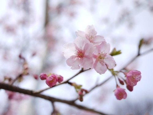 河津桜咲いてたよ